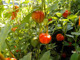 Physalis pruinosa | Ground Cherry | Strawberry Husk Tomato | 20_Seeds