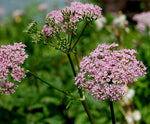 Daucus carota | Pink Queen Annes Lace | Birds Nest | 50_Seeds