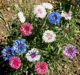 Centaurea cyanus Polka Dot Mix | Bachelors Button | Cornflower | 20_Seeds