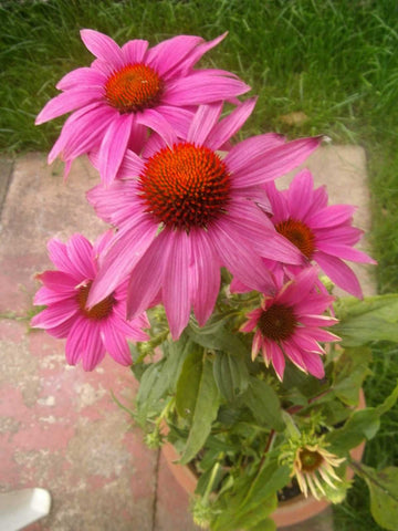 Echinacea purpurea PowWow Wild Berry | Eastern Purple Coneflower | 10_Seeds