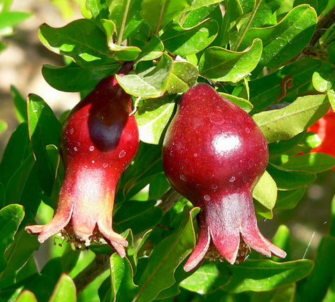 Punica Granatum Nana | Dwarf Pomegranate | 20_seeds