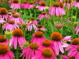 Echinacea purpurea | Eastern Purple Coneflower | 200_Seeds