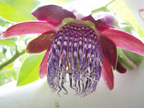 Passiflora quadrangularis | Giant Granadilla | Barbadine | Tumbo | 10_Seeds