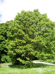 Hovenia dulcis | Japanese Raisin Tree | Honey-Tree | 20_Seeds