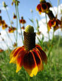 Ratibida columnifera | Mexican Hats | Grey Headed Coneflower | 500_Seeds