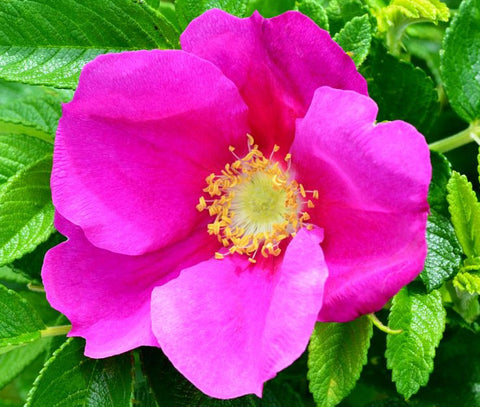 Rosa rugosa Rubra | Red Japanese Rose | 5_Seeds