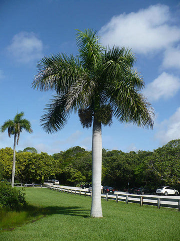 Roystonea regia | Florida Royal Palm | 10_Seeds