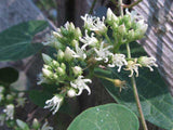 Cynanchum laeve | Sand Vine | Blue Vined Milkweed | 10_Seeds