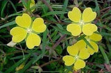 Ludwigia alternifolia | Seedbox | Bushy Waterprimrose | 100_Seeds