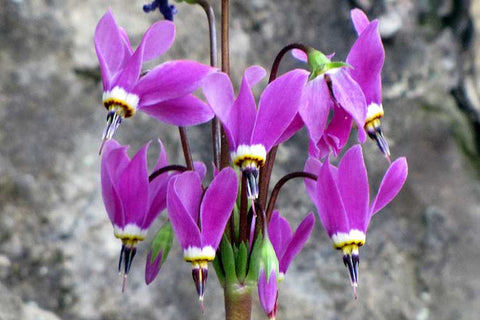 Dodecatheon amethystinum | Amethyst Shooting Star | 50_Seeds