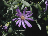 Symphyotrichum sericeum |  Silky Aster | 20_Seeds