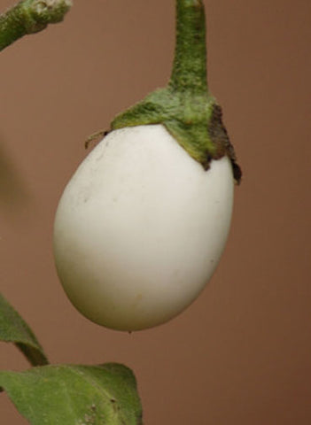 Solanum ovigerum | Easter Egg Plant | 5_Seeds