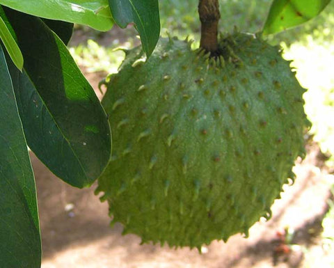 Annona muricata | Soursop | Dutch Durian | Guanabana  | 5_Seeds