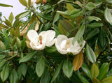 Magnolia grandiflora | Southern Magnolias | Bull Bay | 10_Seeds