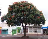Spathodea campanulata | African Tulip Tree | Flame of The Forest | 20_Seeds