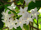 Stephanotis floribunda | Madagascar Jasmine | Waxflower | 10_Seeds