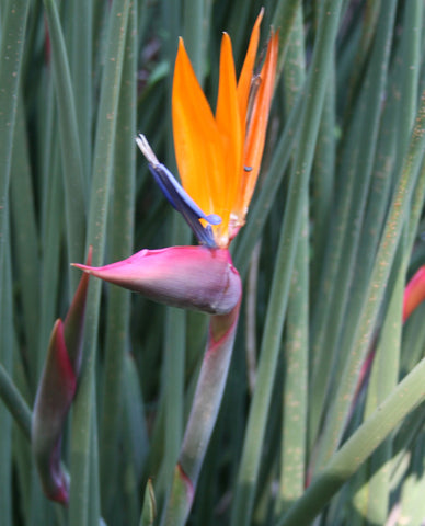 Strelitzia juncea | Narrow Leaved Bird of Paradise | Crane Flower | 20_Seeds