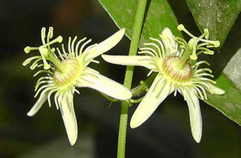 Passiflora suberosa | Cork Bark Passionflower | Devils Pumpkin | 5_Seeds