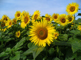 Helianthus annuus | Common Sunflower | 50_Seeds