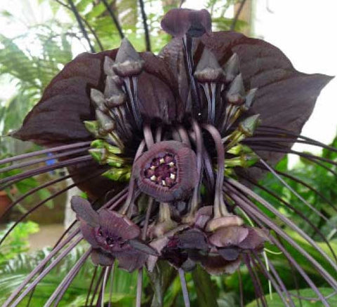 Tacca chantrieri | Bat Flower | Cats Whiskers | Devil Flower 20_Seeds