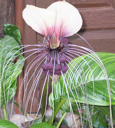 Tacca chantrieri White | Nivea | Bat Head Flower  Lily | 50_Seeds