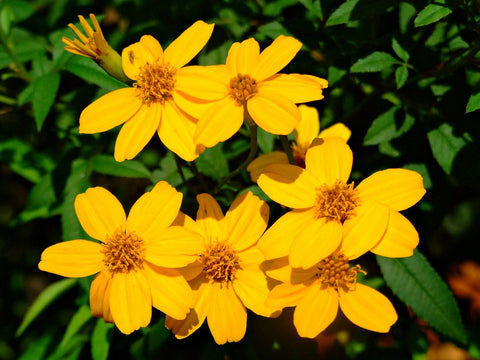 Tagetes lemmonii | Shrub Marigold | Mexican Bush | Mount Lemmon | 20_Seeds