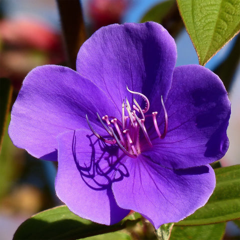 Tibouchina urvilleana | Glory Bush | Lasiandra | Princess Flower | 500_Seeds