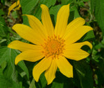 Tithonia diversifolia | Mexican Bolivian Sunflower | Marigold Tree | 50_Seeds