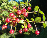 Ugni molinae | Chilean Guava | Strawberry Myrtle | 10_Seeds