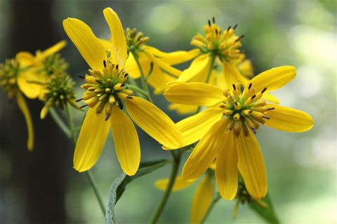 Verbesina occidentalis | Yellow Wingstem | Crown-Beard | 100_Seeds