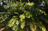 Wallichia oblongifolia | Dwarf Wallichs Fishtail Himalayan Palm | 20_Seeds