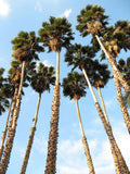 Washingtonia robusta | Mexican fan palm | Skyduster | 10_Seeds