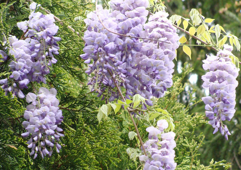 Wisteria frutescens | American Wisteria | 10_Seeds