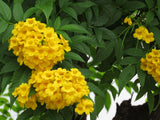 Tecoma stans | Yellow Bells |  Trumpet Flower | 20_Seeds