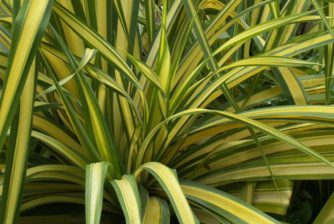 Phormium tenax Yellow Wave | New Zealand Flax | 10_Seeds