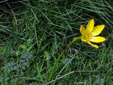 Zephyranthes citrina | Yellow Fairy Lily | Citron Zephyr | 10_Seeds