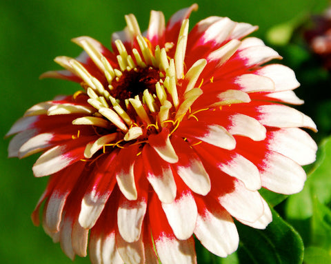 Zinnia elegans Swizzle Cherry and Ivory | 50_Seeds