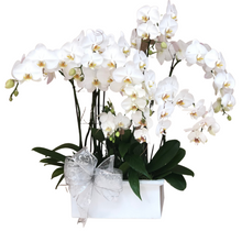Load image into Gallery viewer, Clouds of Phalaenopsis