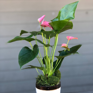 Blooming Anthurium