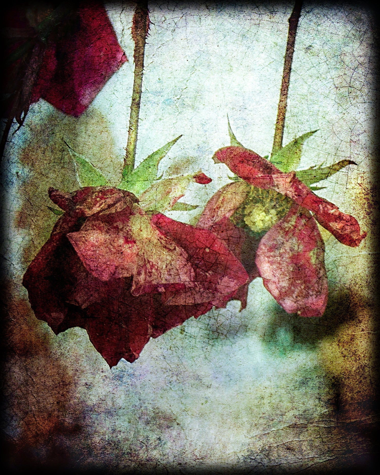 textured fine art photo of a wilting red dog rose