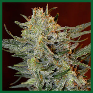 Amnesia Lemon Kush Feminised Seeds
