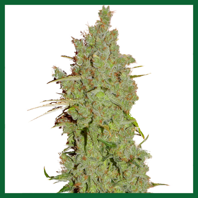 Amnesia Regular Seeds -10