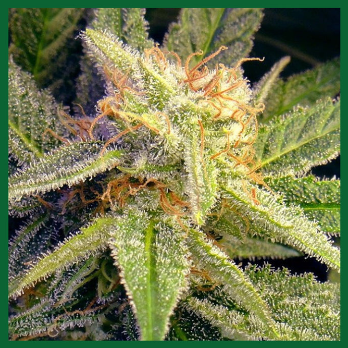 Auto Blue Mystic Feminised Seeds - 5