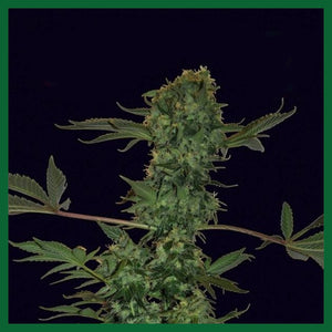 Auto Feminised Seeds