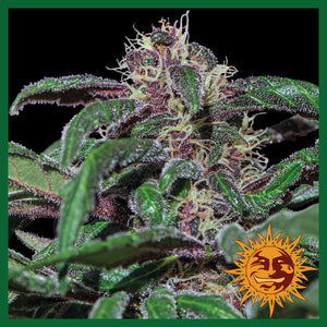 Ayahuasca Purple Feminised Seeds
