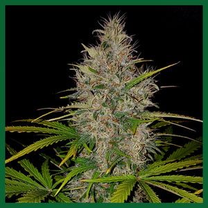 Berries & Cheese Feminised Seeds - 3
