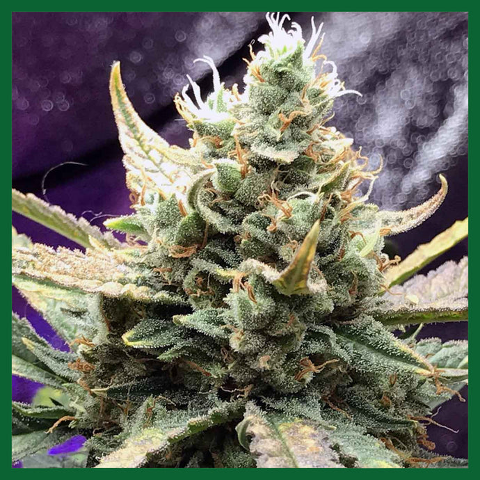 Berry Bomb Regular Seeds - 10