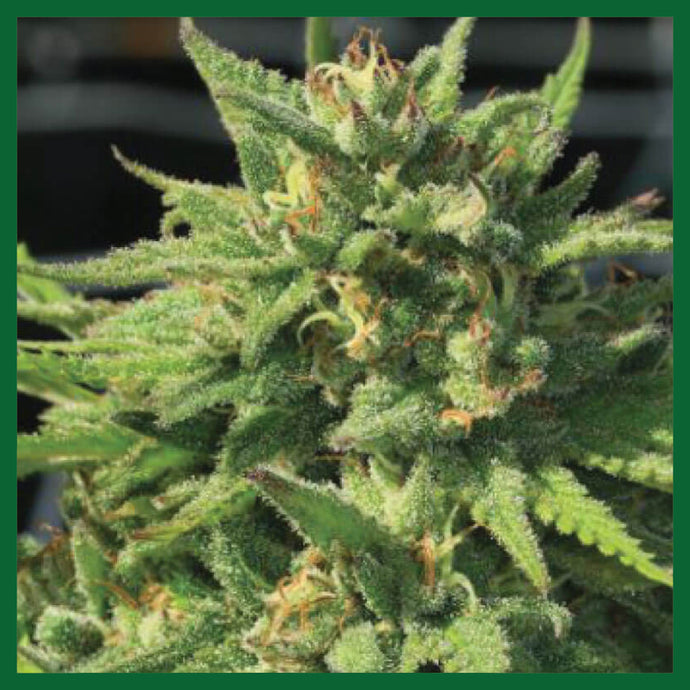 Bigfoot Glue Feminised Seeds - 10