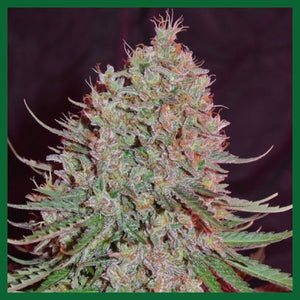 Blue Nitro Haze Feminised Seeds - 3