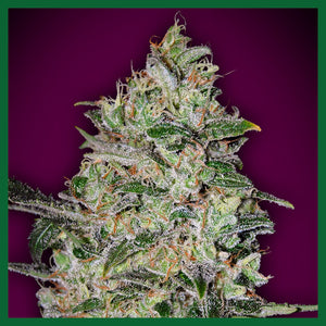 Bubble Gum FAST Feminised Seeds